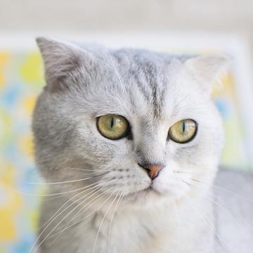 Шотландская кошка (вислоухая и прямоухая)