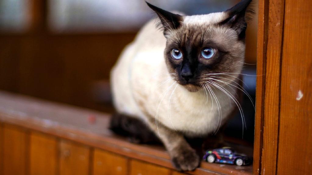 Thai_cats.jpg