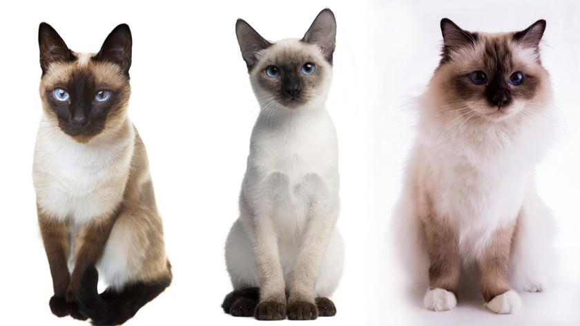 кошки сиамская