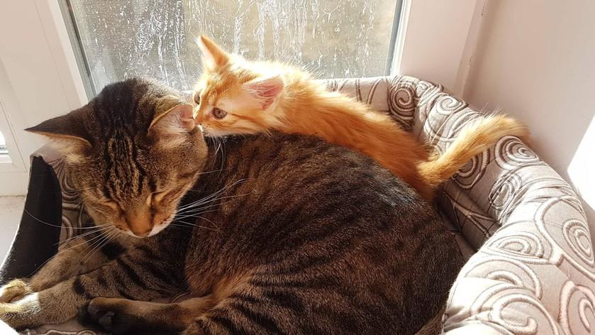 Сосать член кота